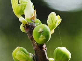 春天的无花果树
