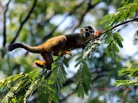 松鼠猴的摄影图片