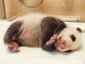 刚出生熊猫幼崽图片