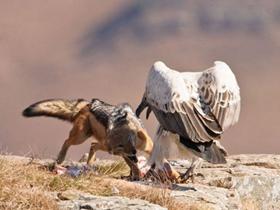 秃鹰与财狼争食
