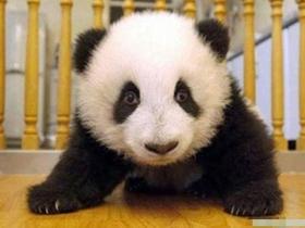 熊猫宝宝超可爱图片