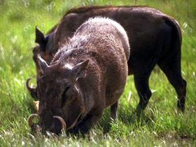 野猪的图片