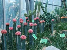 热带仙人掌科植物