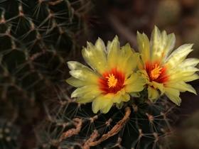 仙人掌花和仙人球花图片