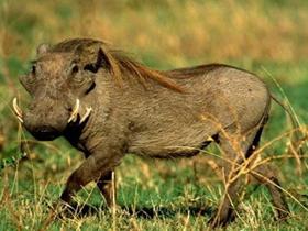 疣猪摄影图片