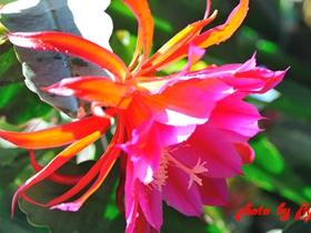 孔雀仙人掌的花卉图片