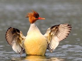 中华秋沙鸭摄影图片