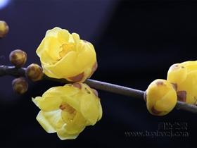 盛开的腊梅花图片