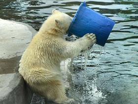 北极熊端桶喝水的图片 憨态十足