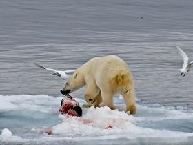 北极熊进食图片