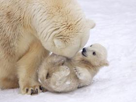 小北极熊咬妈妈尾巴求关注