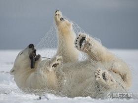 自娱自乐的北极熊