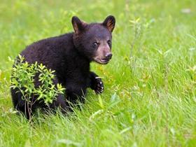 美洲黑熊图片