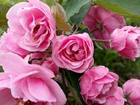 海棠花盆景的欣赏