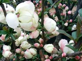 牡丹海棠确实漂亮