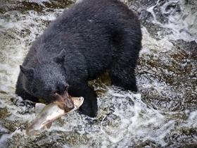 捕鱼的阿拉斯加黑熊