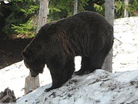 温哥华雪山黑熊