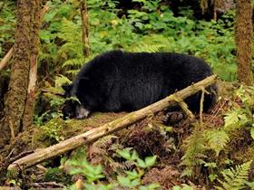 野生黑熊高清图片