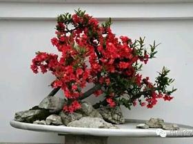 海棠盆景欣赏
