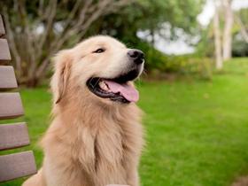 爱吐舌头的金毛犬