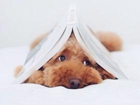 床上的慵懒小泰迪