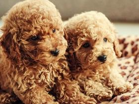 泰迪与贵宾犬图片