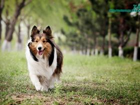 喜乐蒂牧羊犬摄影图片