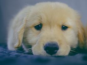 小金毛犬宝宝