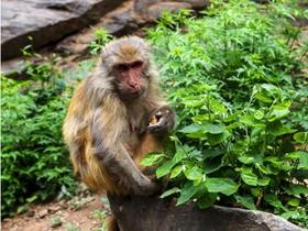 房山猴趣图