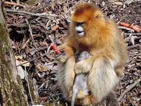 刚出生的金丝猴宝宝