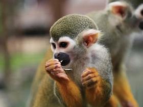 松鼠猴的叫声共有26种