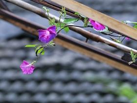 邻居家的喇叭花