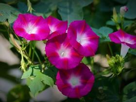 多彩的喇叭花