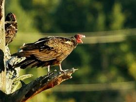 红顶秃鹫图片