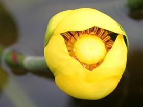 含苞待放黄金莲