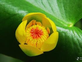 黄金莲与生俱来美