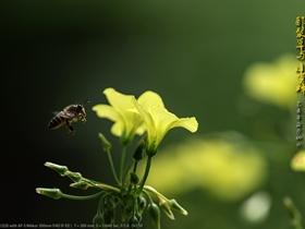 酢浆草和小蜜蜂