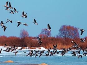 东营湿地的斑头雁