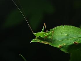 昆虫世界蟋蟀
