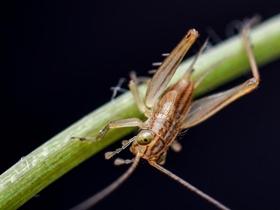 微距拍摄小蟋蟀
