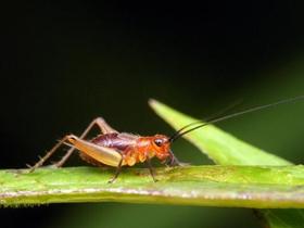 小小蟋蟀图片