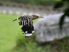 飞翔的戴胜鸟