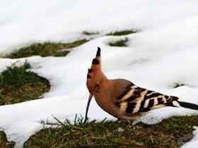 雪后觅食的戴胜鸟