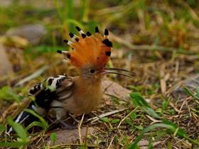 漂亮的小戴胜鸟