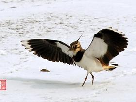 大雪中的凤头麦鸡