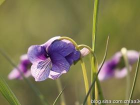 春天里的地丁花