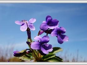 微拍紫地丁花