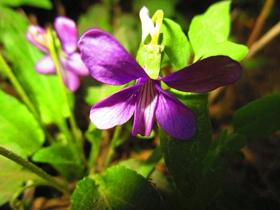 紫地丁花图片