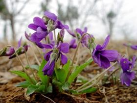 紫色的地丁花