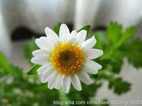 冬之恋白晶菊